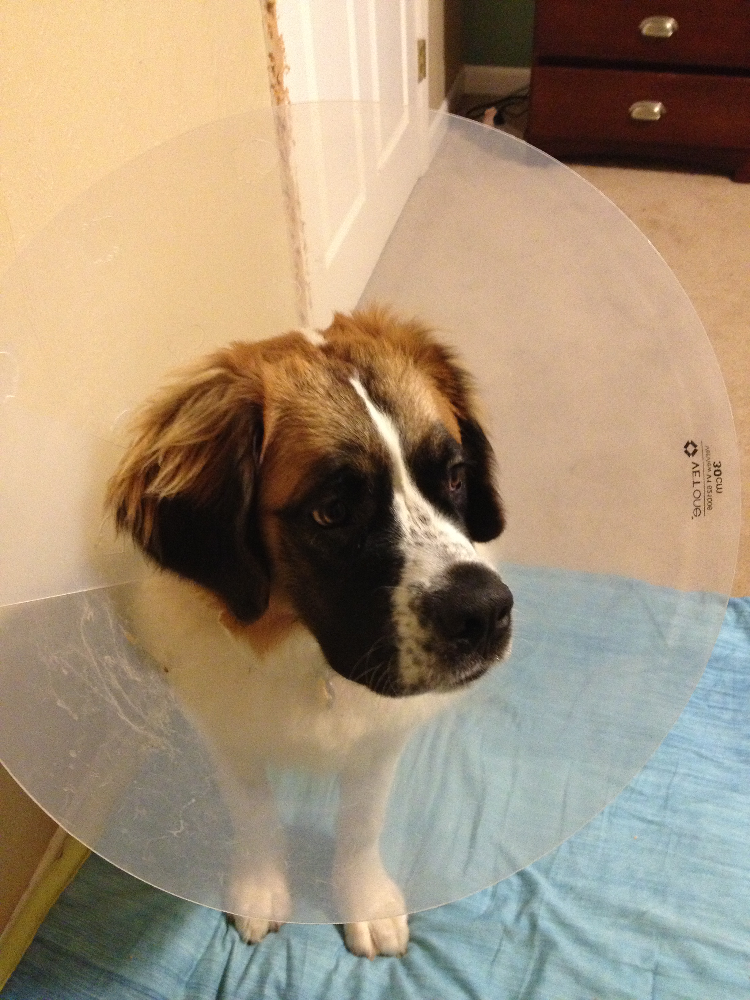 St. Bernard with Cone from Neuter