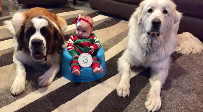 3 month old baby girl / infant in christmas outfit with st. bernard and great pyrenees